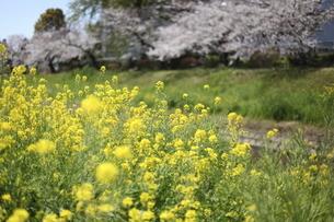 菜の花と桜並木の写真素材 [FYI04761245]
