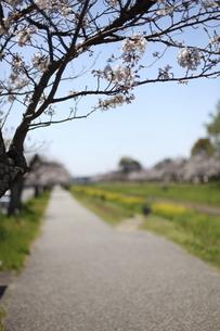 桜の咲く道の写真素材 [FYI04761248]