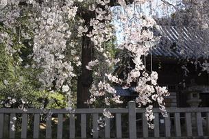 神社のしだれ桜の写真素材 [FYI04761251]