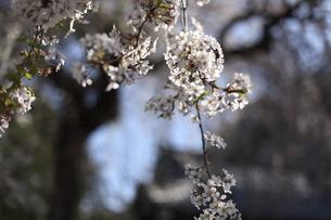 神社のしだれ桜の写真素材 [FYI04761252]