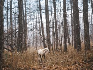 森の白馬の写真素材 [FYI04761302]