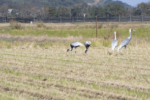 Family of white-naped cranes in Izumi Cityの写真素材 [FYI04761305]