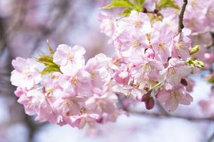 河津桜の写真素材 [FYI04761346]