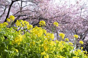 河津桜と菜の花の写真素材 [FYI04761350]