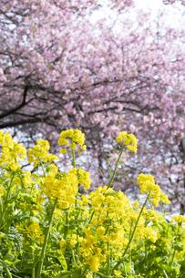 河津桜と菜の花の写真素材 [FYI04761354]