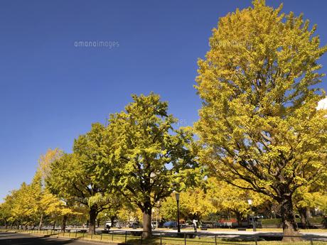 東京都 黄葉した丸の内のイチョウ並木の写真素材 [FYI04761741]