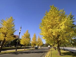 東京都 黄葉した丸の内のイチョウ並木の写真素材 [FYI04761744]