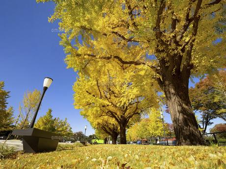 東京都 黄葉した丸の内のイチョウ並木の写真素材 [FYI04761748]