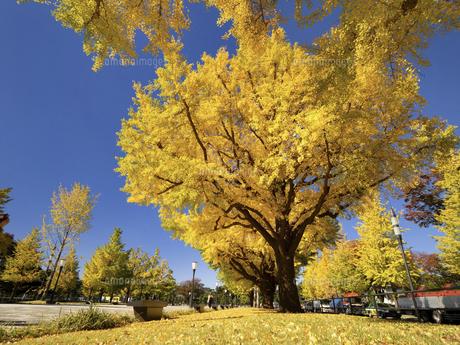 東京都 黄葉した丸の内のイチョウ並木の写真素材 [FYI04761750]