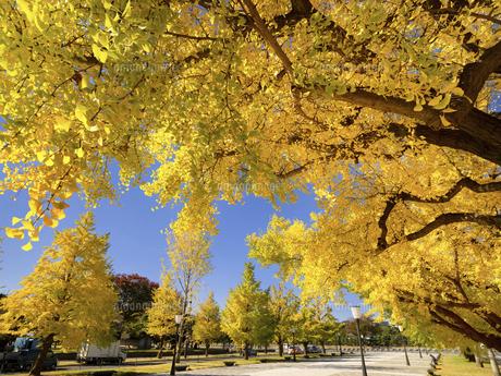 東京都 黄葉した丸の内のイチョウ並木の写真素材 [FYI04761752]