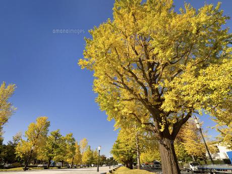 東京都 黄葉した丸の内のイチョウ並木の写真素材 [FYI04761755]