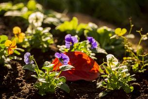 パンジーお花畑と紅葉の落葉の写真素材 [FYI04762071]