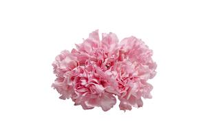 カーネーションの花束の写真素材 [FYI04762273]