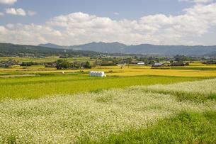 南阿蘇村の蕎麦畑の写真素材 [FYI04762287]