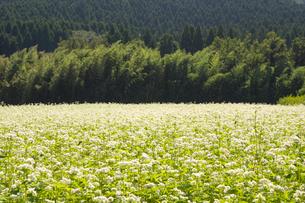 南阿蘇村の蕎麦畑の写真素材 [FYI04762288]