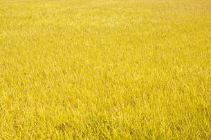 黄金色に輝く南阿蘇村の稲穂の写真素材 [FYI04762305]