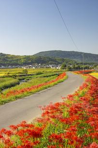 熊本県益城町の彼岸花街道の写真素材 [FYI04762333]