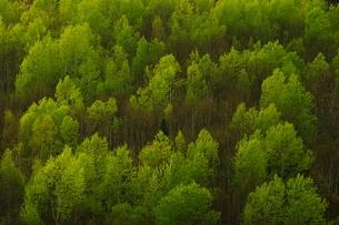 士別 於鬼頭峠付近 新緑の白樺林の写真素材 [FYI04762338]