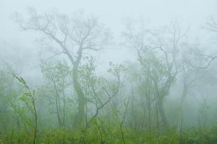 新緑のオロフレ峠 霧の森の写真素材 [FYI04762384]