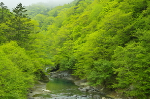 白老川上流域 新緑の森の写真素材 [FYI04762385]