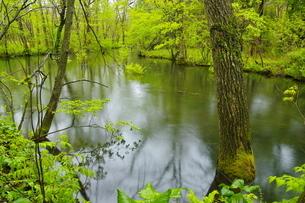 北海道大学苫小牧研究林 新緑の幌内川沿いの森の写真素材 [FYI04762402]