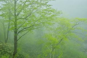 白老川上流 ホロホロ峠付近の新緑の霧の森の写真素材 [FYI04762403]