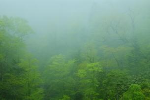 白老川上流 ホロホロ峠付近の新緑の霧の森の写真素材 [FYI04762404]
