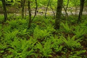 インクラの滝風景林 別々川上流の新緑の森の写真素材 [FYI04762406]