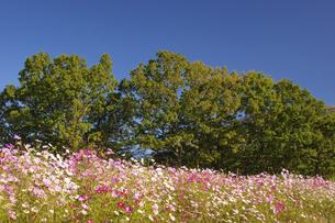 ヒゴタイ公園のコスモス畑の写真素材 [FYI04762412]