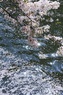 目黒川の桜の写真素材 [FYI04762413]