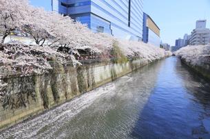 目黒川の桜の写真素材 [FYI04762419]