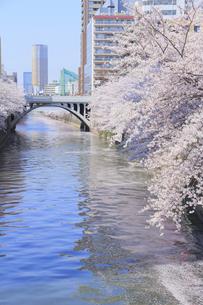 目黒川の桜の写真素材 [FYI04762421]