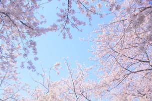 桜と青空の写真素材 [FYI04762436]