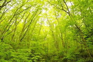 新緑の野幌森林公園の写真素材 [FYI04762442]