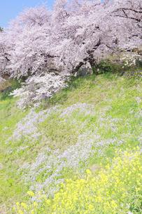 四谷外濠の桜の写真素材 [FYI04762443]
