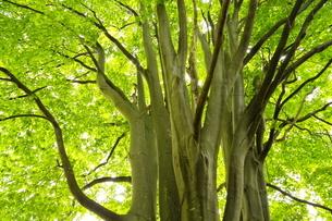 新緑のブナの木の写真素材 [FYI04762444]