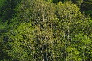 木々の芽吹きの写真素材 [FYI04762446]