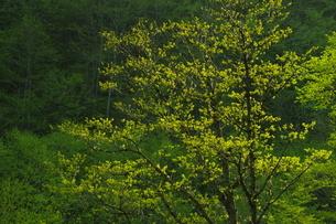 木々の芽吹きの写真素材 [FYI04762448]