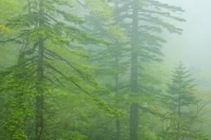白老川上流域 新緑の森の写真素材 [FYI04762461]