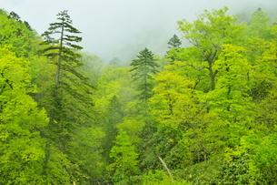 白老川上流域 新緑の森の写真素材 [FYI04762464]