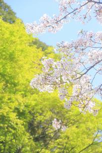 新緑と桜の写真素材 [FYI04762486]