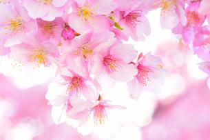 河津桜の花の間に差し込む日の光の写真素材 [FYI04762492]