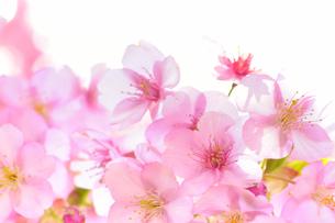 河津桜の花の間に差し込む日の光の写真素材 [FYI04762494]
