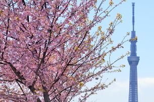 ヒカンザクラと東京スカイツリーの写真素材 [FYI04762511]