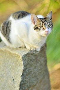 石の上にすわる野良猫の写真素材 [FYI04762540]