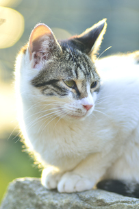 石の上にすわる野良猫の写真素材 [FYI04762541]