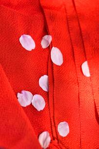 縮緬の布と桜の花びらの写真素材 [FYI04762550]