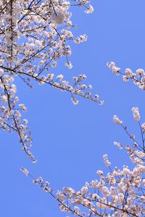 ソメイヨシノと青空の写真素材 [FYI04762551]
