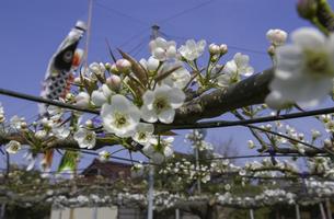 梨の花の写真素材 [FYI04762565]