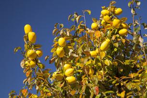カリンの果実の写真素材 [FYI04762605]